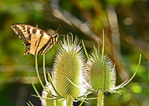 Southfork WWR Butterflies on plants, 8-1-16