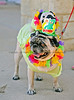 Ginger Pug, owed by Vonna Andrews, won the small dog swimsuit contest for the second year in a row at the City of Keller's Doggie Dunk.