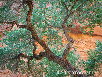 Canyon Glow on a Cottonwood