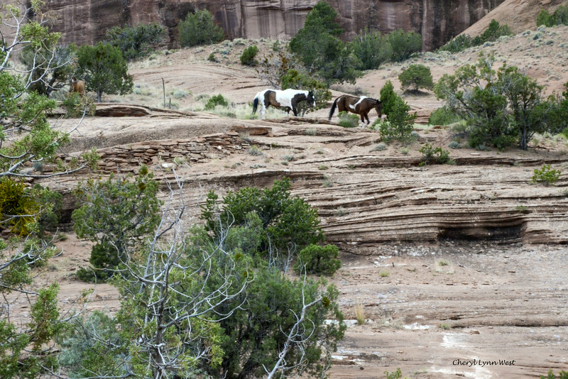 Mustangs at Canyon de Chelly, Arizona, coming down the canyon trail