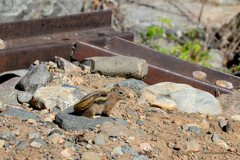 Durango & Silverton Narrow Gauge Railroad, Colorado - Chipmunk waiting for some popcorn thrown to him