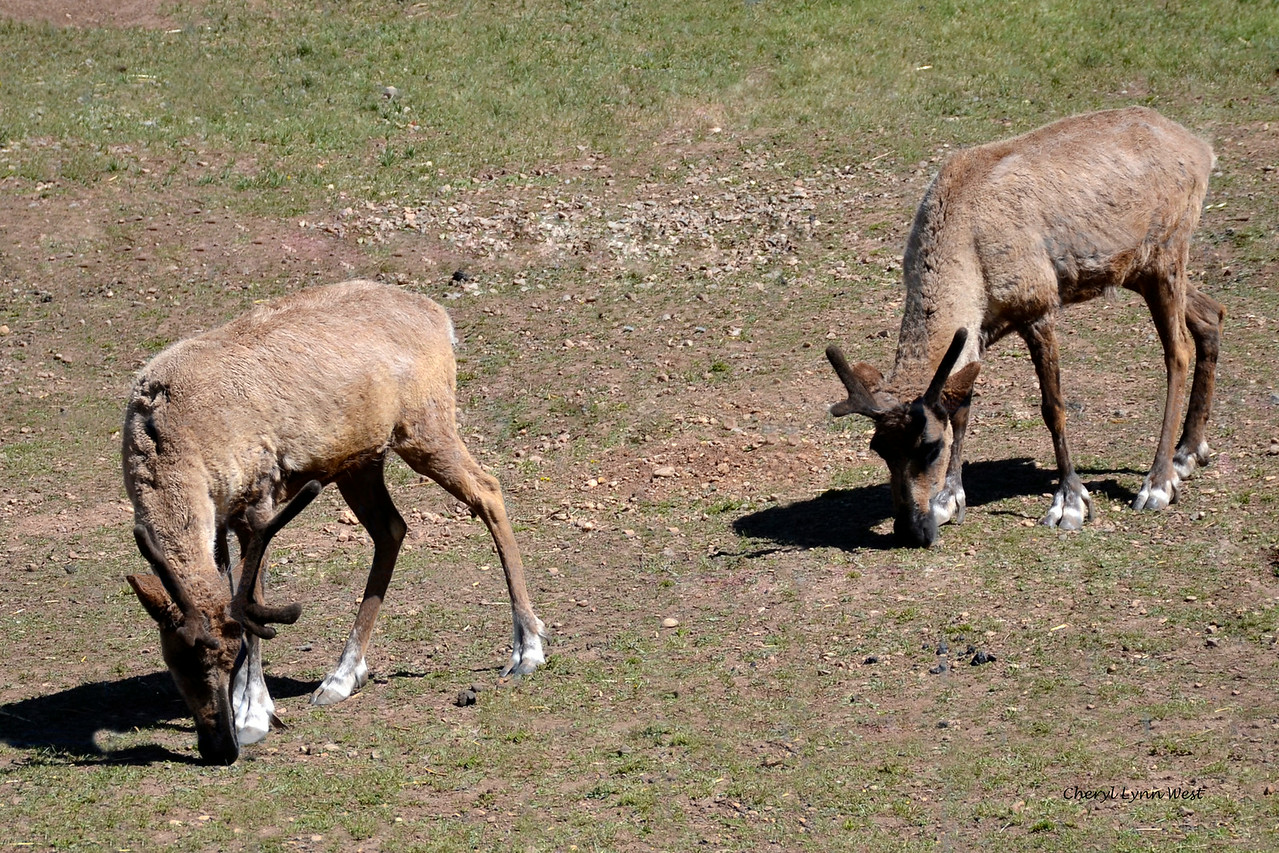 Durango & Silverton Narrow Gauge Railroad, Colorado - penned elk along the trail