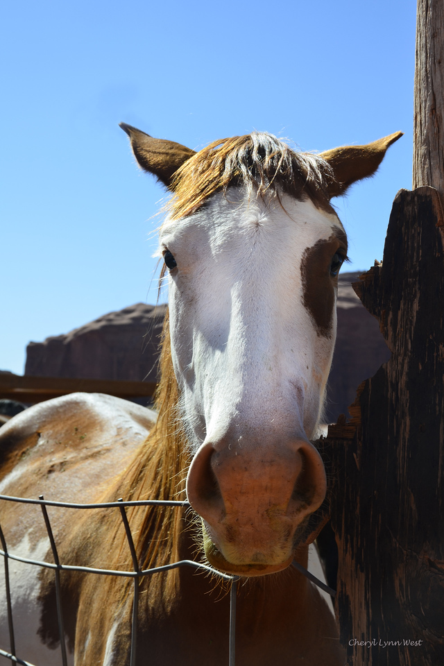 Native American horse in corral near John Ford's Point, Monument Valley, Arizona - checking me out closely