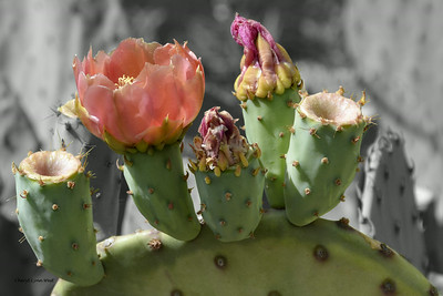 Madrid, New Mexico - Cacti in bloom