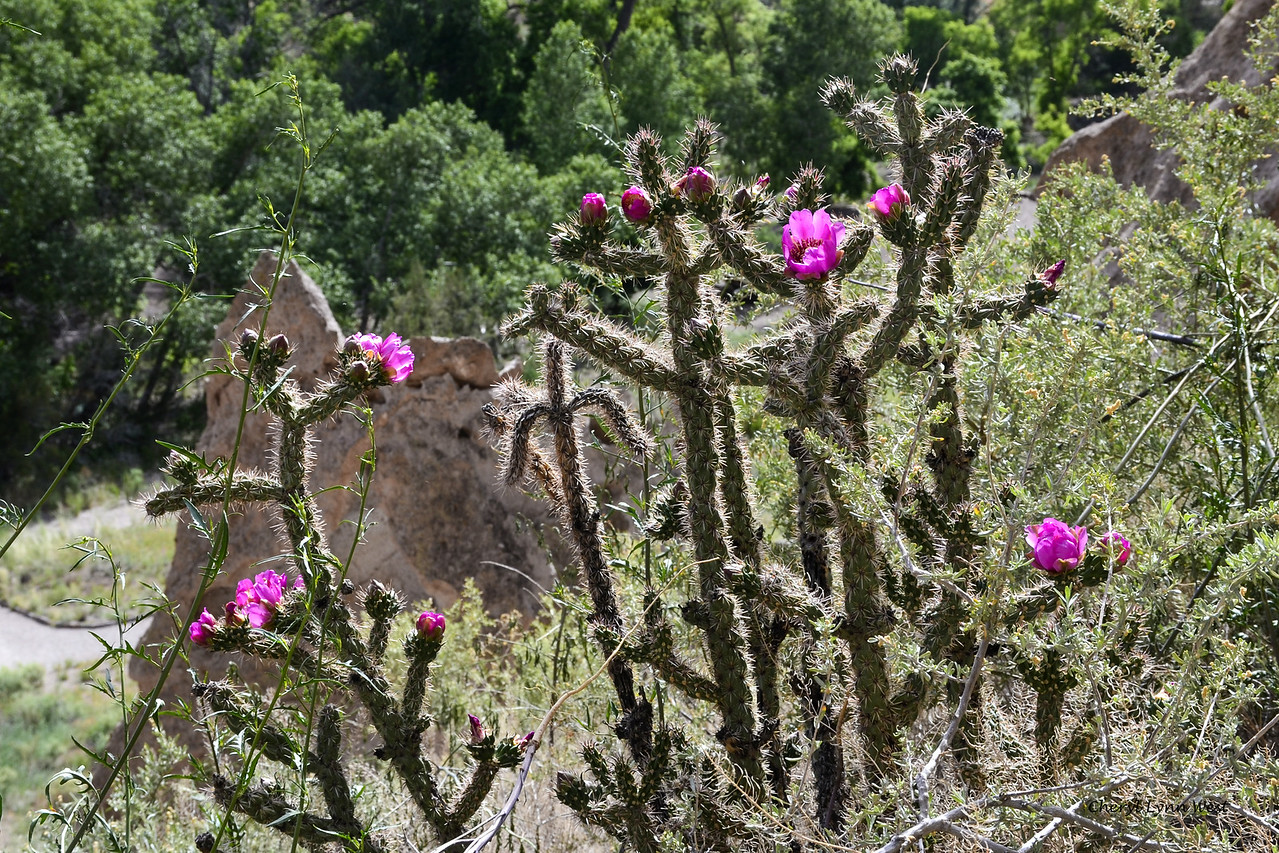 Bandelier National Monument, Los Alamos, New Mexico - Cacti in bloom