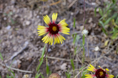 Bandelier National Monument, Los Alamos, New Mexico - wildflowers