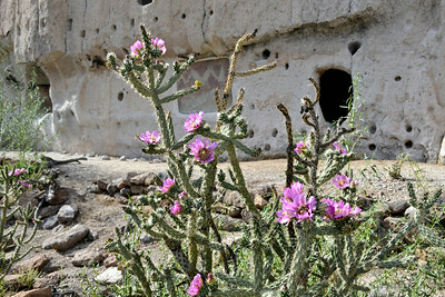 Bandelier National Monument, Los Alamos, New Mexico - Cacti in bloom in front of cliff dwellings