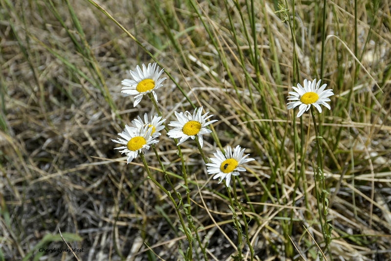 Truchas, New Mexico - wild flowers