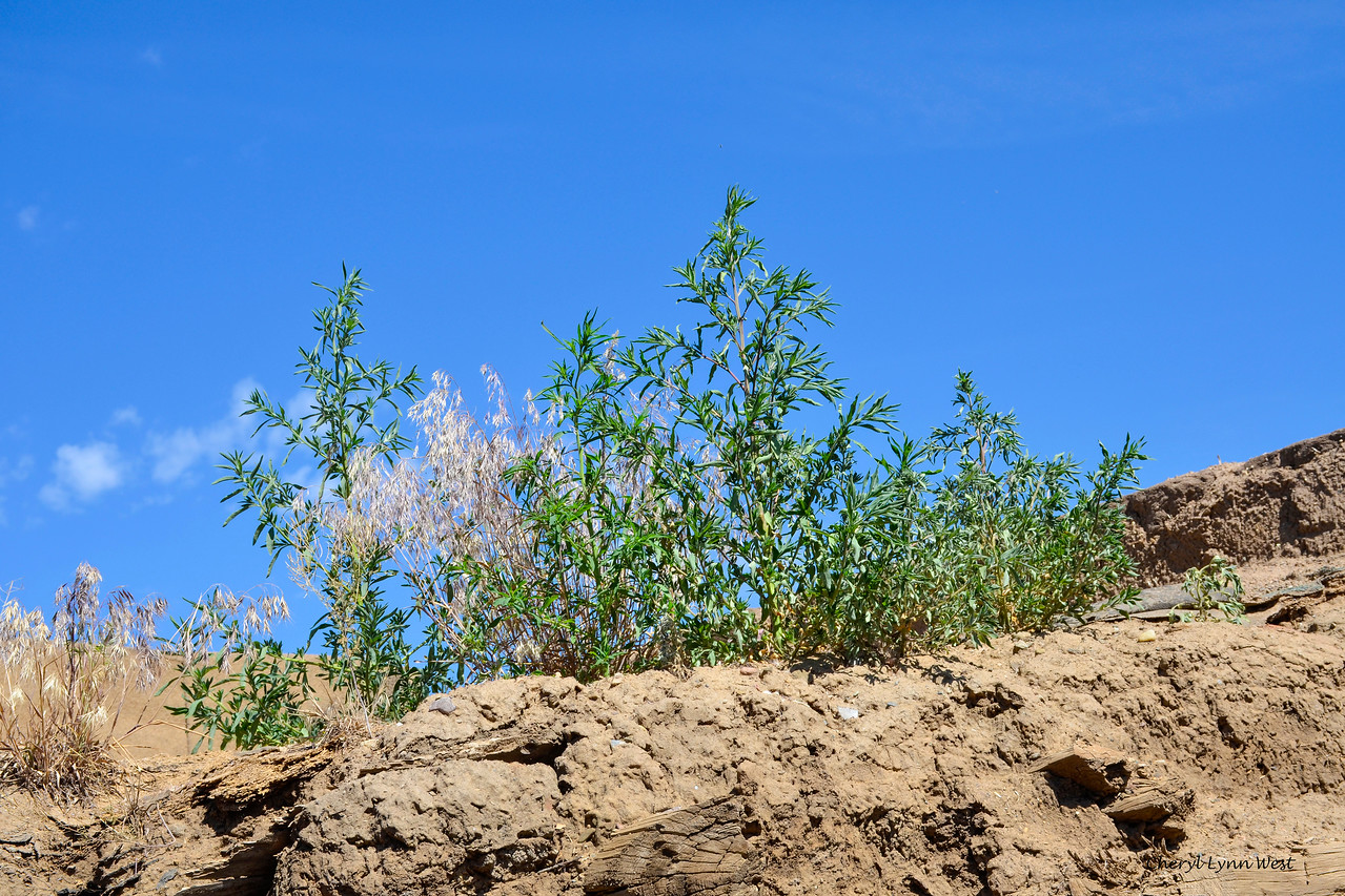 Taos Pueblo, New Mexico - Plants growing in adobe on ruined home
