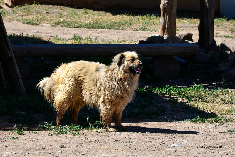 Taos Pueblo, New Mexico - Stray dog in the village