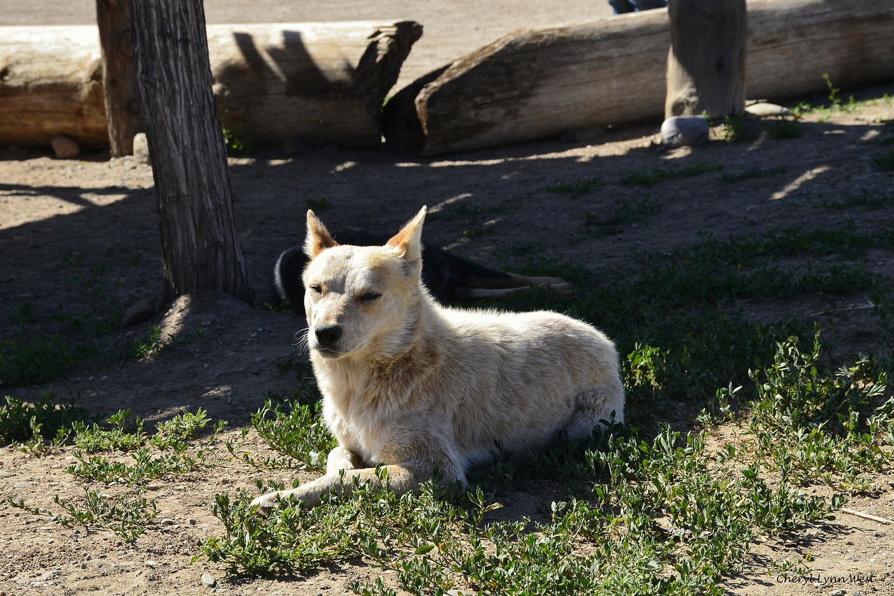 Taos Pueblo, New Mexico - Strays dogs which live in the pueblo