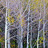 """Texture"".  A dense Aspen forest during Fall on Boulder Mt., Utah."