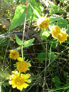 Texas Yellow Wildflowers
