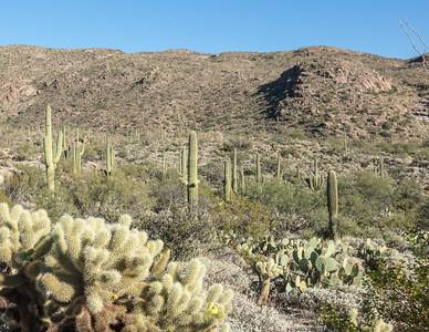 Teddy Bear Cholla / Cylindropuntia bigelovii (bottom left); Prickly Pear Cacti / Opuntia ficus-indica (right); and the Giant Saguaro cacti / Carnegiea gigantea (background) located in Saguaro National Park (Rincon), Tucson, AZ.