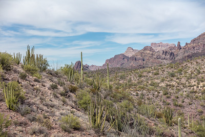 Organ Pipe Cactus (Stenocereus thurberi) in the Ajo Mountains of Southern Arizona. Organ Pipe Cactus can live in excess of 150 years and will first flower near the age of 35. Organ Pipe Cactus National Monument near Lukeville, AZ near the border of Sonora, Mexico.
