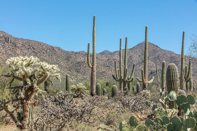 Saguaro National Park - Tucson Mountain District, west of Tucson, AZ.  Four species of cacti shown:  Jumping Cholla (Cylindropuntia fulgida) on bottom left;  Buckhorn Cholla (Cylindropuntia acanthocarpa) on bottom 2nd from left;  Prickly Pear (Opuntia engelmannii) on bottom right; and Giant Saguaro (Carnegiea gigantea) in mid-ground.  Red Hills in background.