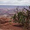 Stunted Tree at the Canyons edge