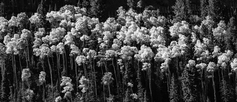 Poplar Trees in Black and White