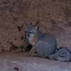 Gray Fox in the Narows