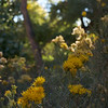 Rabbitbrush in Late Afternoon Sun