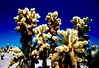 Cholla Cactus Garden, Joshua Tree National Park, CA