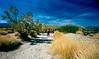 Ocotillo Patch, Joshua Tree National Park, CA