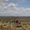 Goats on the Navajo Reservation, on the way into Chaco Canyon