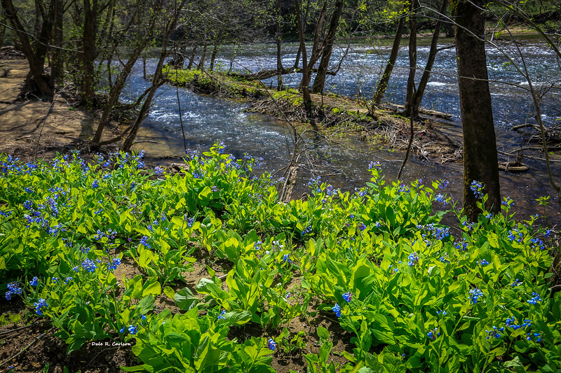 Bluebells on the Clinch