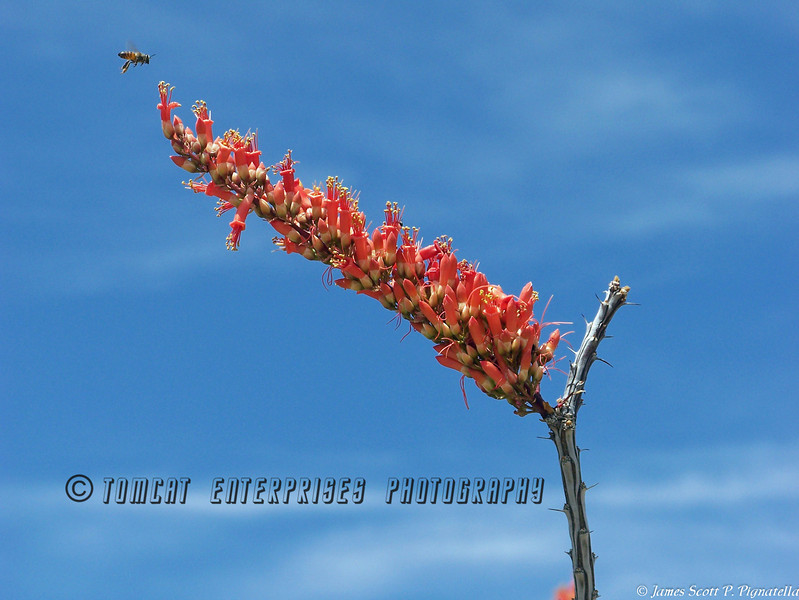Ocotillo and the Bee