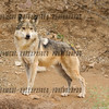 Mexican Wolf Standing