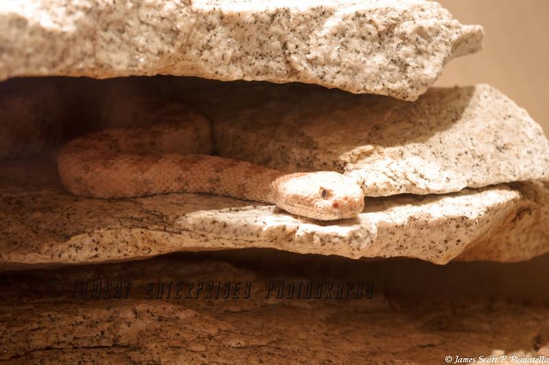 Sneaky Rattlesnake