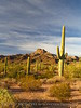 Ajo Mt Scenic Drive, Organ Pipe NM AZ (6)
