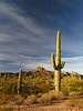 Ajo Mt Scenic Drive, Organ Pipe NM AZ (10)