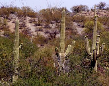 Saguaro I
