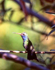 Hummingbird (captive)