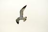 California gull imm, Ash Meadows NWR NV (5)