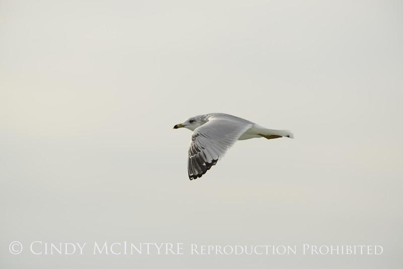Ring-billed gull imm, Ash Meadows NWR NV (1)