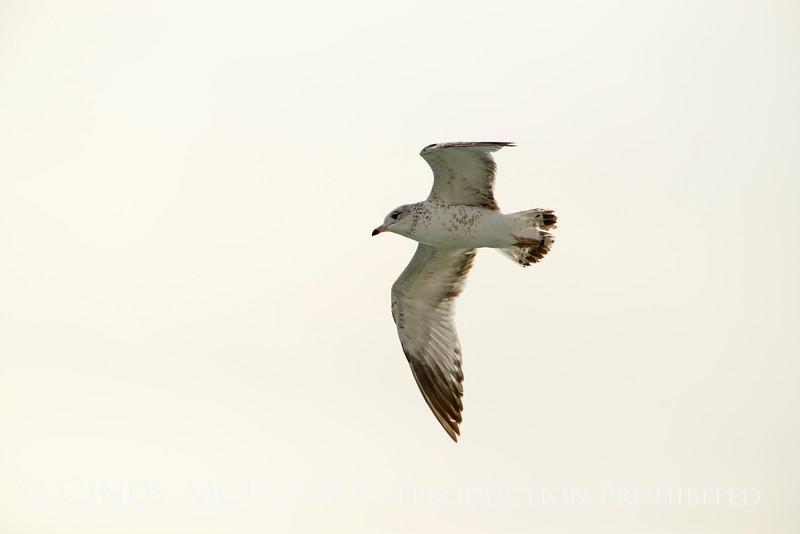California gull imm, Ash Meadows NWR NV (6)