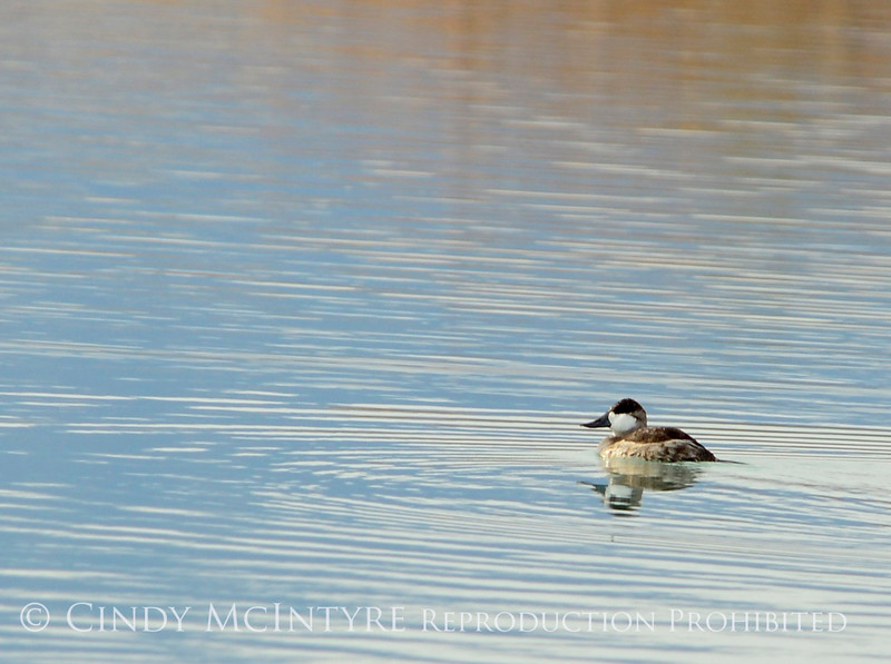 Ruddy duck male, winter, NV (1)