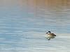 Ruddy duck male, winter, NV (1)