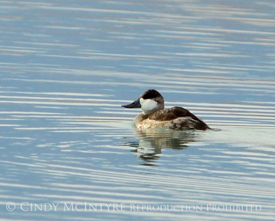Ruddy duck male, winter, NV (2)