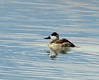 Ruddy duck male, winter, NV (2)