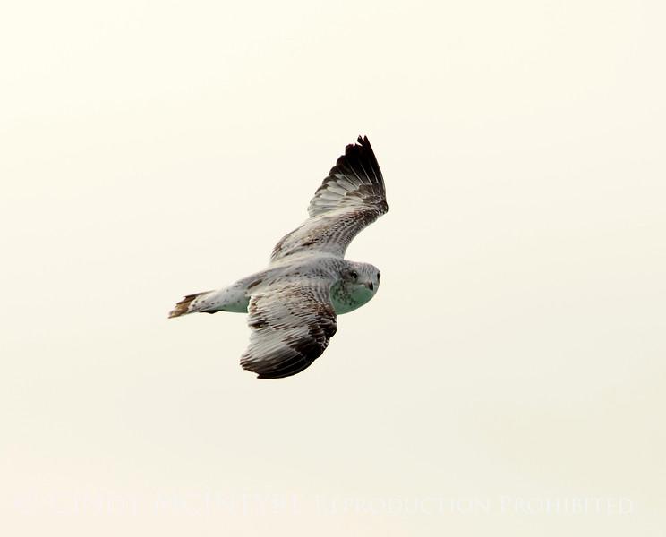 California gull imm, Ash Meadows NWR NV (2)