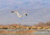 California gull, Ash Meadows NWR NV (2)