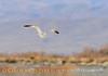 California gull, Ash Meadows NWR NV (2)
