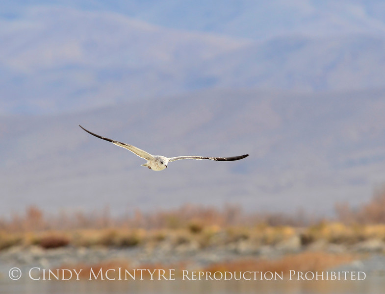 California gull, Ash Meadows NWR NV (1)