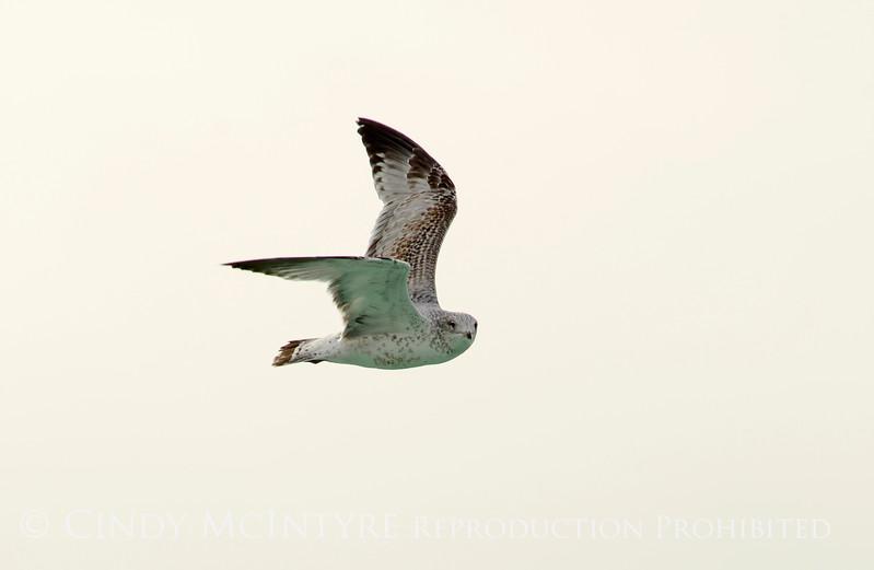 California gull imm, Ash Meadows NWR NV (3)