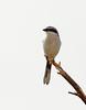 Loggerhead Shrike, NV