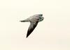 California gull imm, Ash Meadows NWR NV (1)