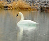 Tundra swan, Ash Meadows NWR NV (1)